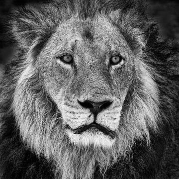 Portrait d'un lion en noir et blanc sur Chris Stenger