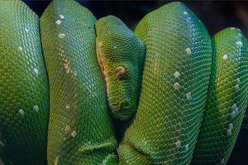 Groene Boom Python von Ron Meijer Photo-Art