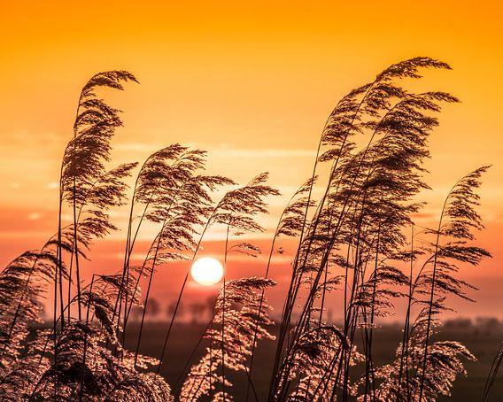 Zonsondergang met oplichtende rietpluimen in het tegenlicht.