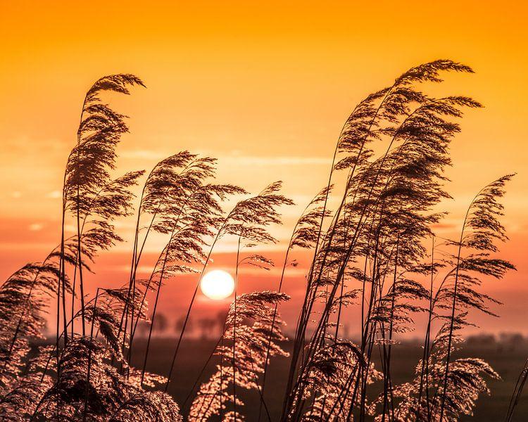 Zonsondergang met oplichtende rietpluimen in het tegenlicht. van Harrie Muis