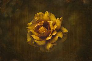 Gele roos van