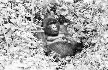 Gorilla, Uganda von Jan Fritz