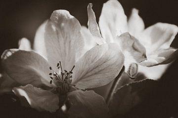 Apfelblüte Schwarz und Weiß von Tanja de Boer