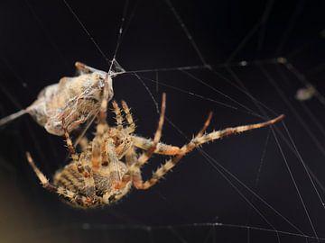 Kruisspin met sprooi in web van Carin van der Aa