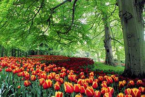 Tulpenveld slingerend onder de bomen van de Keukenhof van