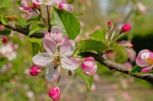 Bij op een roze appelbloesem