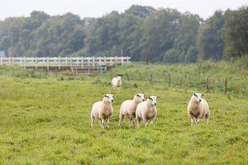 Een groepje schapen in een weide van