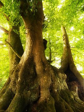 Alte Bäume (Lindeskov Hestehave, Ørbæk) von