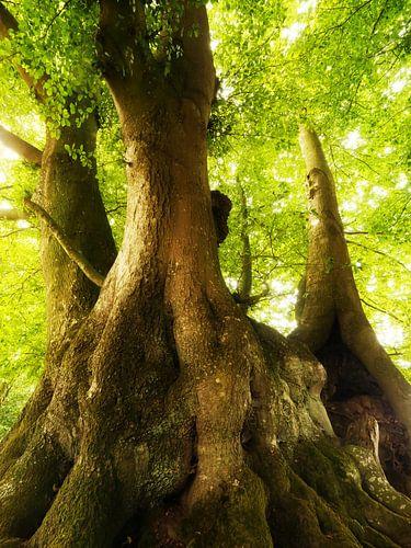 Alte Bäume von