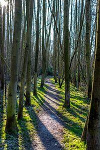 Recht smal paadje tussen hoge bomen met lange schaduwen  in het Gulpdal in Zuid Limburg