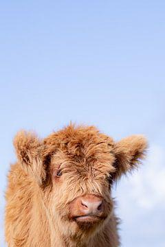 Kalf Schotse Hooglander, zacht en wollig van Mascha Looije