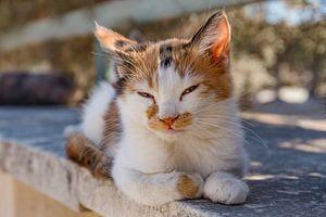 Kat, poes, kitten van