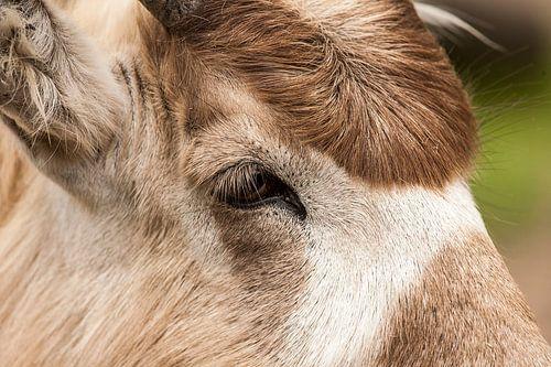 Close-up grote koedoe. van