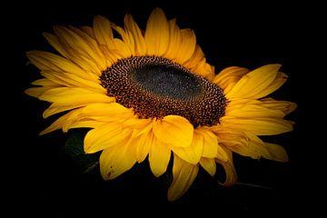 Sonnenblume in Blüte. von Benjamin Admiraal