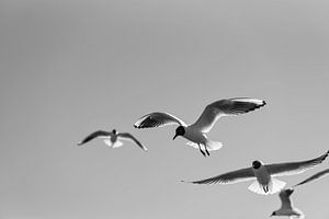 Meeuwen in de lucht in zwart wit