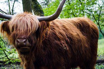 Schotse Hooglander van David Muntinga