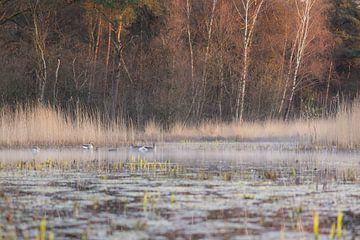 ganzen in de vroege ochtend van Tania Perneel