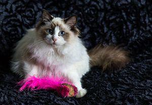 Seal bicolour Ragdoll kitten sur Arline Photography