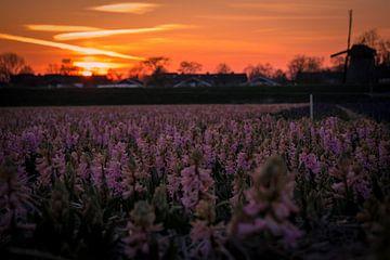 Hyacinten bij zonsondergang 2 van peterheinspictures