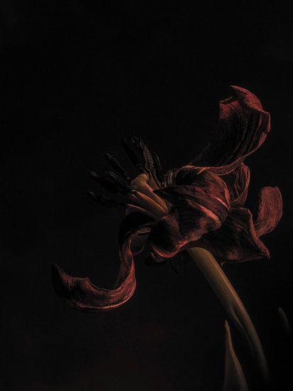 Tulp uitgebloeid