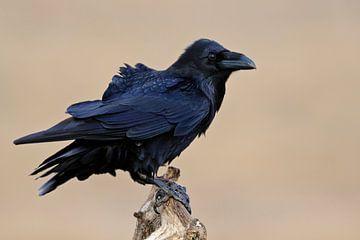 Gefährte der Wikinger... Kolkrabe *Corvus corax* von wunderbare Erde