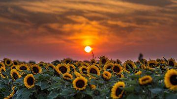 Zonnebloemen von Michel de Koning