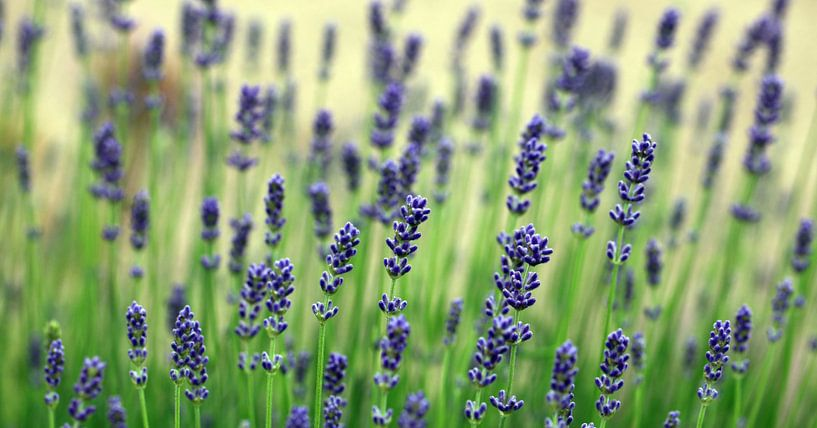 Echte lavendel, Lavandula angustifolia van Renate Knapp