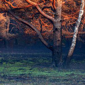 bouleau et pin noircis par le feu au lever du soleil sur Olha Rohulya