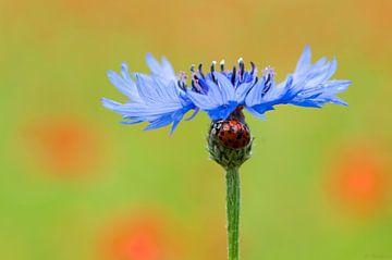 Korenbloem met lieveheersbeestje von Bastian Boogaard