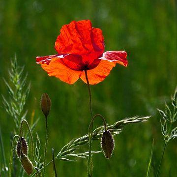 Red poppy in summer van Ralf Schroeer