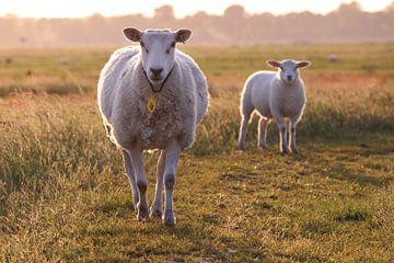 Schafe im Polder von Robin Jongerden