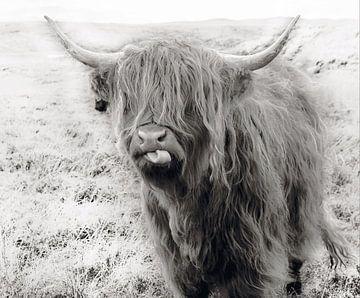 Schotse hooglander zwart/wit van Herman Peters