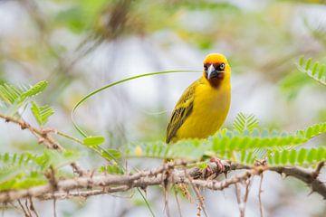 Natuur Afrika | Wever bezig met de aanbouw van zijn nest - Tanzania van Servan Ott