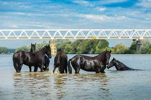 Vrije Paarden van
