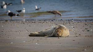 Zeehond op strand Noordzee