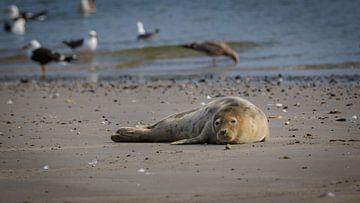 Zeehond op strand Noordzee van