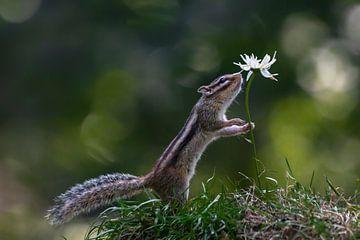 Siberische grondeekhoorn ruikt aan een bloem. van Albert Beukhof