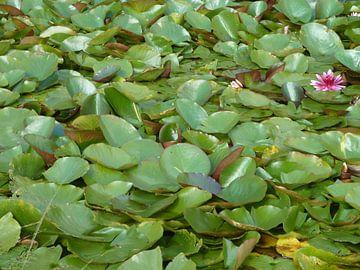 Waterlelies van Dionijsius Horik