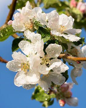 Apfelbaum (Malus domestica) in Blüte von Alexander Ludwig