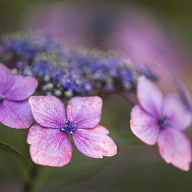 Macrofoto van Hydrangea Macrophylla 'Mariessii Perfecta' van Mayra Pama-Luiten