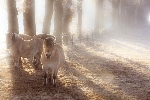 Paarden in de winter in de wei in de mist