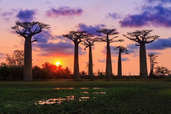 Baobabs aan het einde van de dag