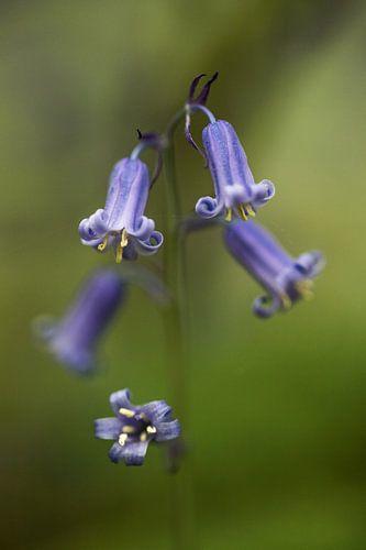 the blue wood hyacinth van