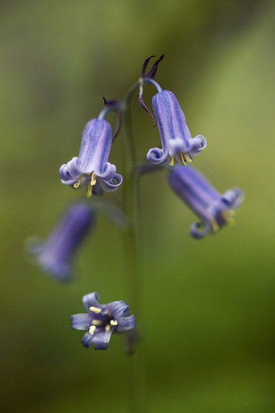 the blue wood hyacinth van Koen Ceusters