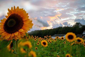Zonnebloemenveld van Ellinor Creation