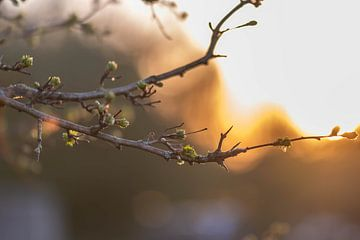 de nouvelles feuilles à la lumière du soleil sur Tania Perneel