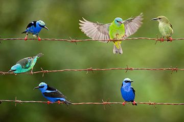 Six Red-legged Honeycreepers sitting on barbed wire sur AGAMI Photo Agency