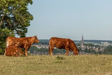 Grazende runderen in Zuid-Limburg van John Kreukniet
