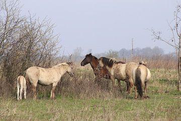 Konik-Pferde von John Kerkhofs