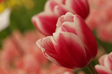 Buntes Bild der Tulpe von As Janson